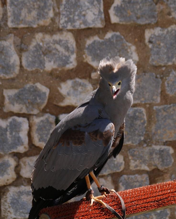 GYMNOGENE D'AFRIQUE - CREDIT PHOTO AMELIE MESNARD