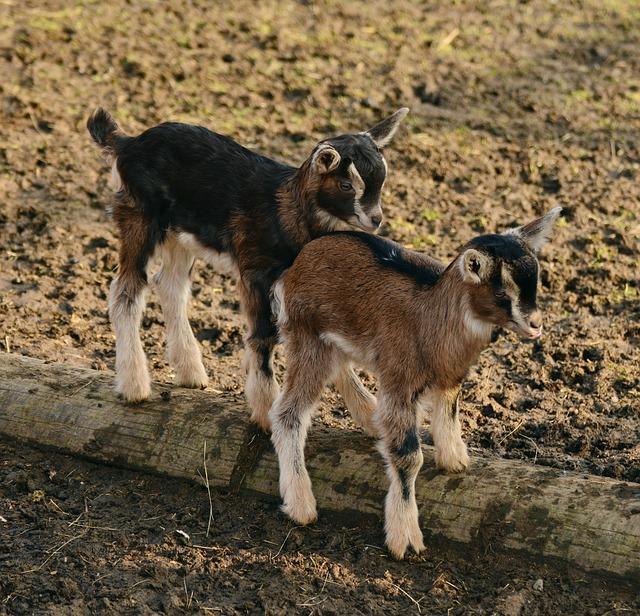 goats-2052736_640